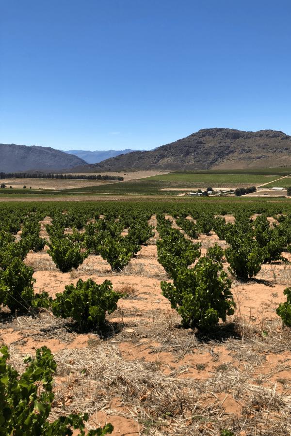 Old Bush Vine wijngaard