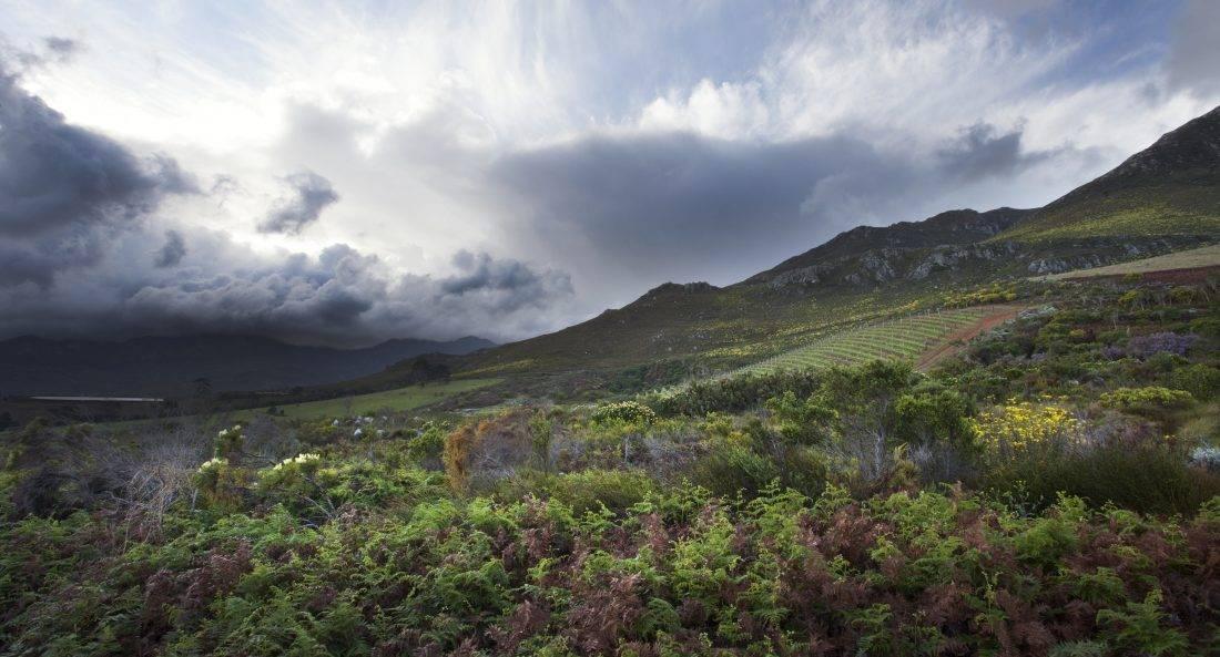 Oak Valley_ Pinot Noir bergwijngaard op de hellingen van de Groenlandberg