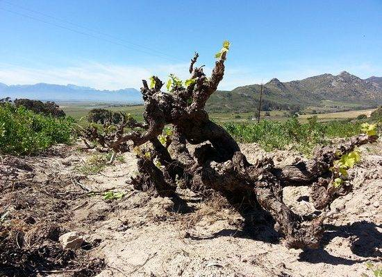 Chenin Blanc Old Bush Vines